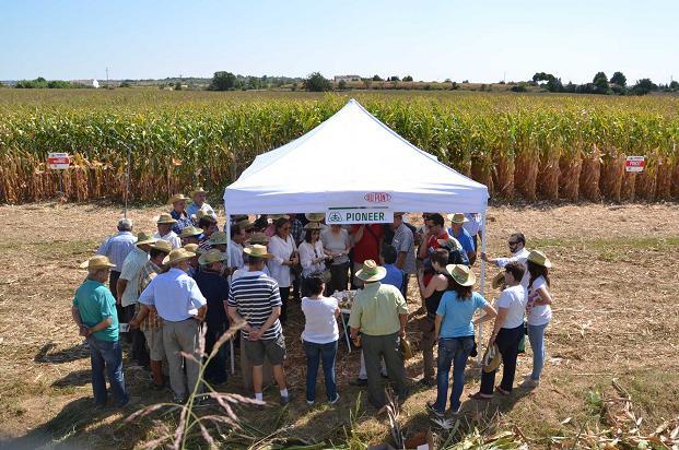 Buen inicio de la cosecha de maíz para consumo humano