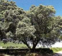 El GA incluye siete árboles de La Litera dentro del catálogo de ejemplares protegidos