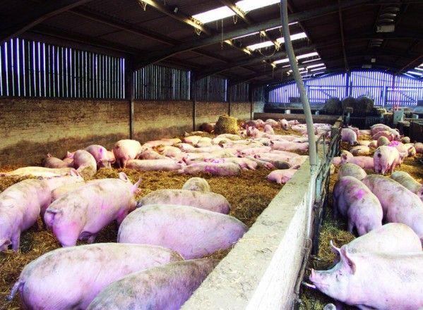 Baja el precio  de recogida  de cadáveres  en el sector porcino