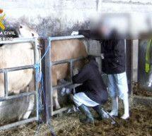 Destapada una trama organizada para el engorde ilegal de ganado vacuno