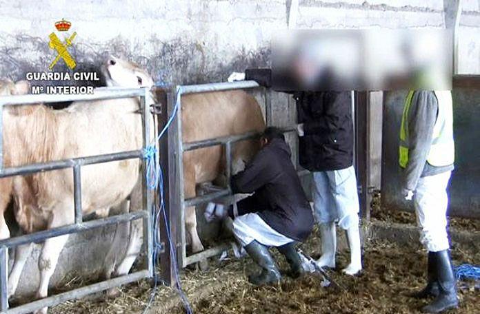 Asoprovac valora positivamente el desmantelamiento de la red de engorde ilegal de ganado vacuno